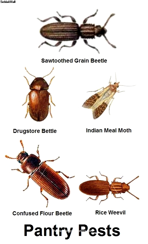 pantry pest jobs can often be done on a single visit if the homeowner prepares as instructed remove all food and dishes from kitchen and pantry cupboards